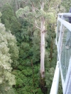 Otway fly: a tree as seen from the Tree Top walk