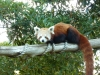 Red panda glaring at me