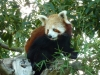 Red panda looking suspicious