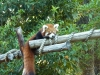 Red panda lurking at the keeper, handing out food (#1)