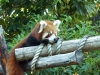 Red panda lurking at the keeper, handing out food (#2)